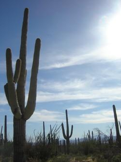 Saguaro_lead
